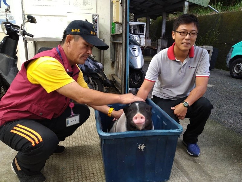 原飼主請動保處協助送養豬隻