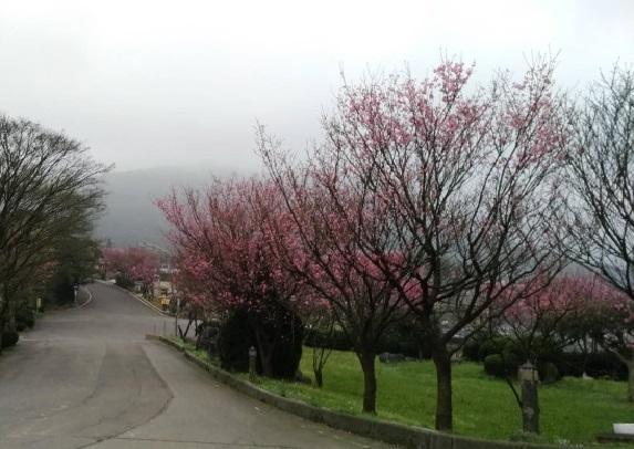 每年冬季時三芝青山路盛開櫻花,今年大家也要準時去賞櫻
